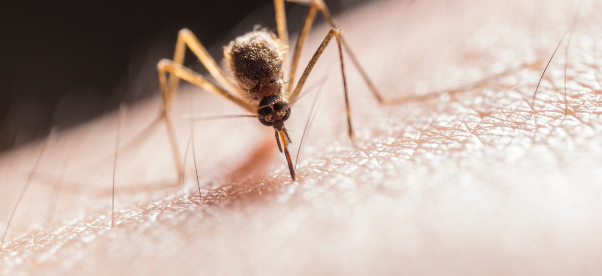imagen - mosquito