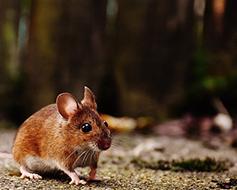 ¿Cómo eliminar plaga de ratas y ratones?